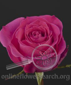 Rose Perugia