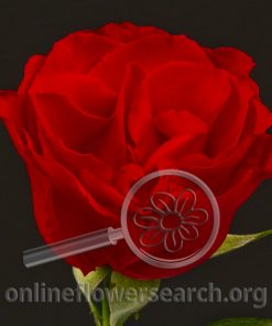 Rose Ambassador