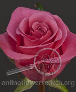 Rose Breezer