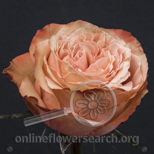 Rose Kahala-BB