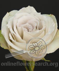 Rose Early Grey (aka Nicolicious)