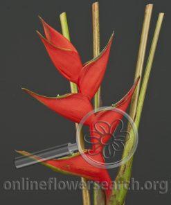 Heliconia Red Iris