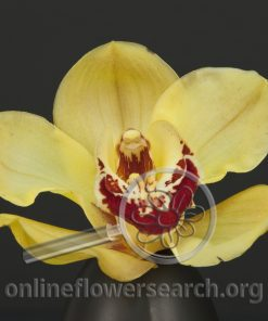 Cymbidium Bloom Yellow