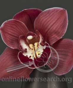 Cymbidium Bloom Red