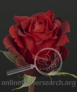 Rose Biored