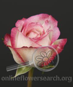 Sweetheart Rose Laminuette