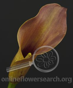 Calla Brownie (Dyed)