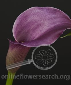 Calla Dark Lavender
