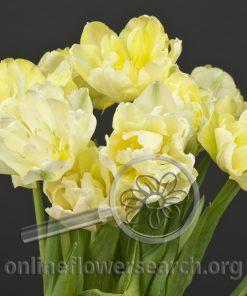 Tulip Double Creme