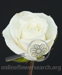 Rose White Swan