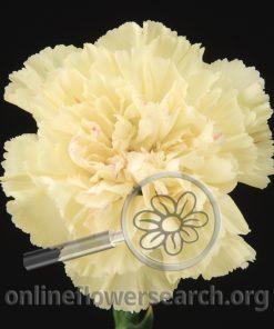 Carnation Cream