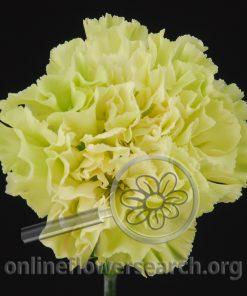 Carnation Green