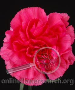 Carnation Hot Pink