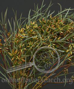 Eucalyptus Paprika Seeded