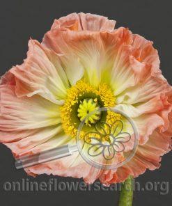 Poppy Peach