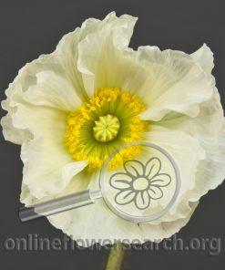 Poppy White