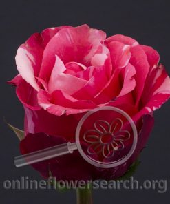 Rose Cherry Be!