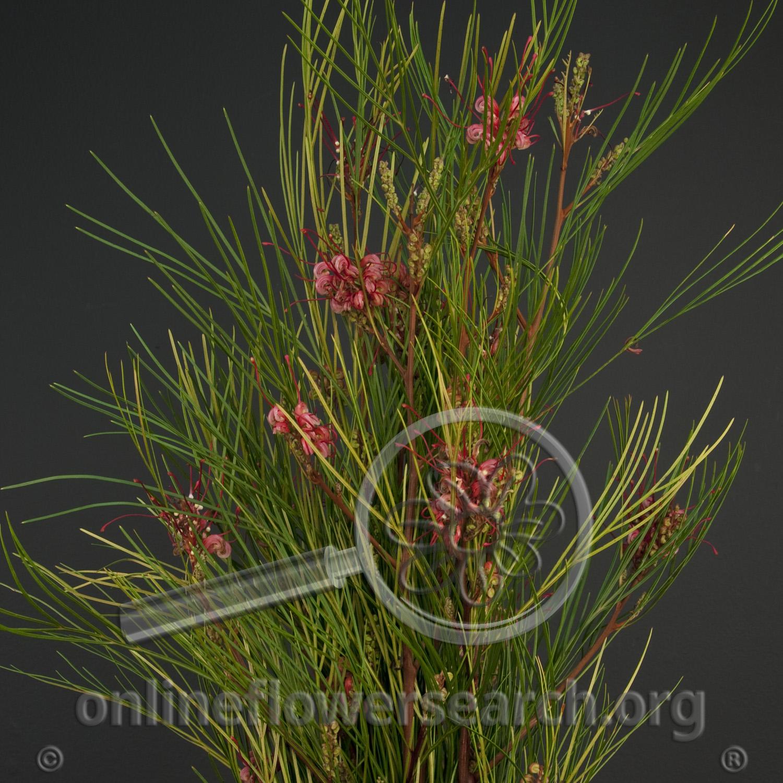 Grevillea Long John Online Flower Search