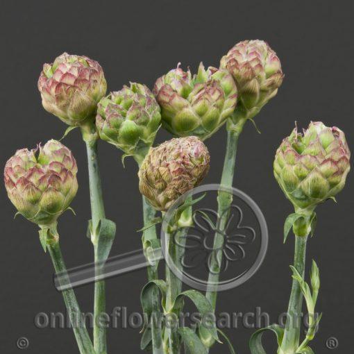 Dianthus Garofani Matrioska Pink