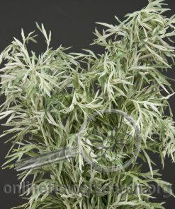 Artemisia Silver Queen