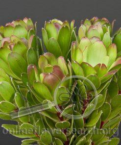 Leucadendron Goblet