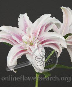 Lily Oriental Roselily Belonica
