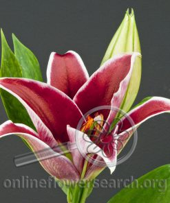 Lily Oriental Love Story