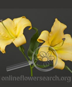 Lily OT Hybrid Salterello