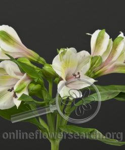 Alstroemeria White Forest