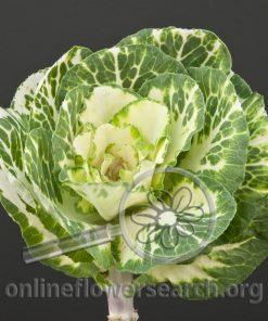 Kale/Cabbage Ornamental Bicolor