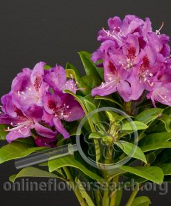 Rhododendron Blooming Purple