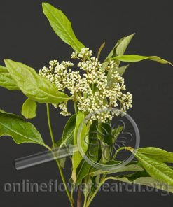Viburnum Brandy Lace