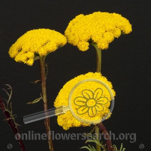 Ageratum Yellow