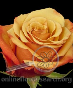 Rose Giotto