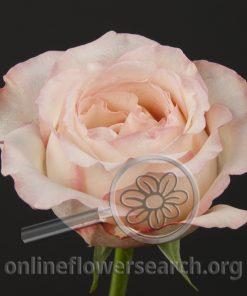 Rose Like a Virgin