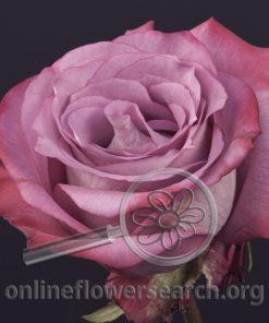 Rose Night Queen+