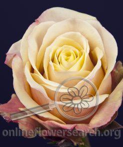 Rose Shirley