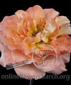 Rose Show Augusta