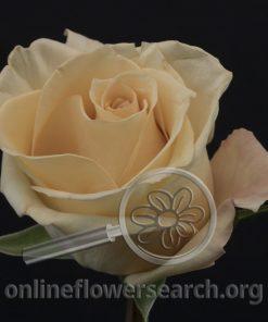 Rose Proseco
