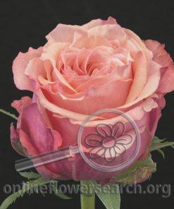Rose Art Rose