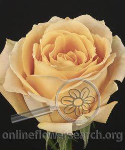 Rose Shukrani