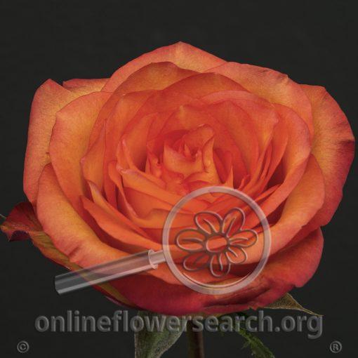 Rose Skyfire