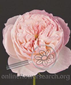Rose Constance (Austruss)