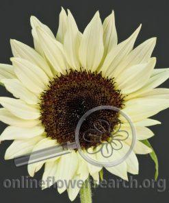 Sunflower Lemon Sorbet