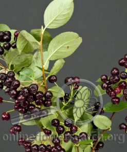 Aronia - Berry Black - Chokeberry