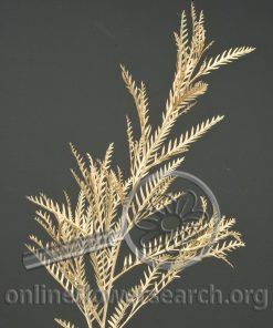 Grevillea Tinted Gold
