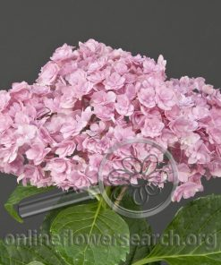 Hydrangea 'Early Sensation'