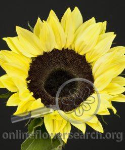 Sunflower Lemon
