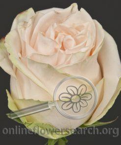 Rose Garden Spirit (aka Wedding Spirit)