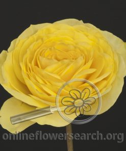Rose Lemon Pompon Freelander